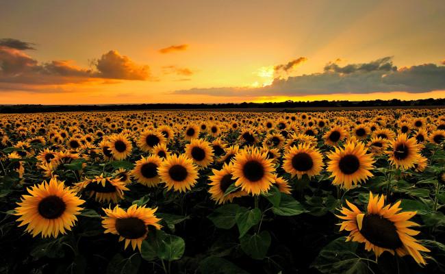 Cho thuê xe tham quan cánh đồng hoa hướng dương Nghĩa Đàn